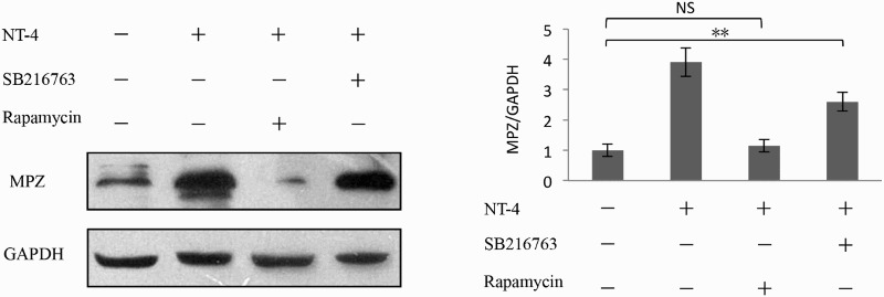Involvement of mTORC1 signaling in MPZ expression. Impact of rapamycin on MPZ expression in Schwann cells was determined by western blotting analysis. Rapamycin (50 μM, 2 h) pretreatment Schwann cells rapidly reduced the expression of MPZ induced by NT-4; however, SB216763 (40 μm, 2 h) did not affect MPZ expression in these cells. A bar graph represents band intensities normalized to those for GAPDH. Each bar represents the average ± SEM of independent experiments. * p
