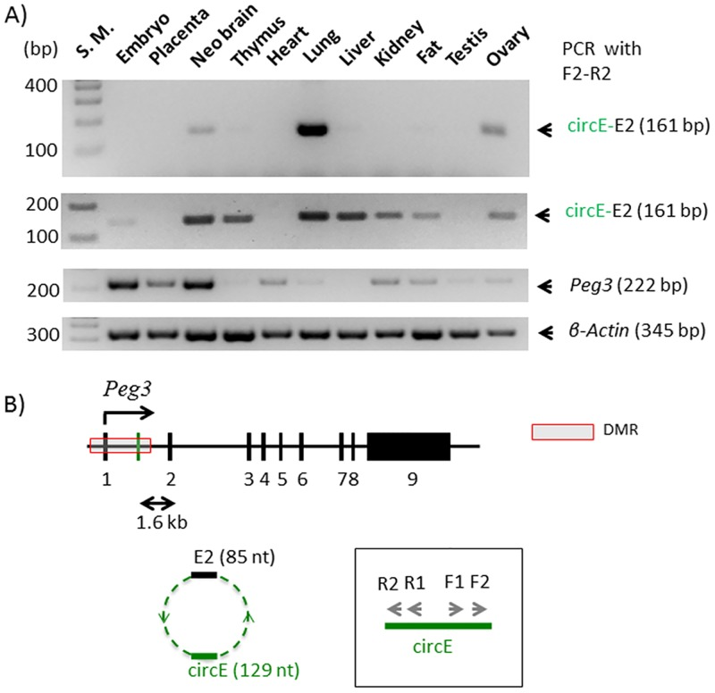 Circular RNA from the Peg3 locus, circPeg3. ( A ) The two gel images on top represents the results of a nested PCR amplifying circPeg3 from two independent sets of cDNA that have been derived from the total RNA of various mouse tissues; the third image on middle shows the expression profile of Peg 3; and the fourth image on bottom indicates the relative amount of cDNA between different tissues based on the expression levels of β-actin. ( B ) Schematic representation of the exon structure of the mouse Peg3 locus. The black vertical lines indicate individual exons and the green vertical line indicates the circE exon. The arrows within the box indicate the two sets of primers that have been used for a nested PCR scheme to amplify circPeg3.
