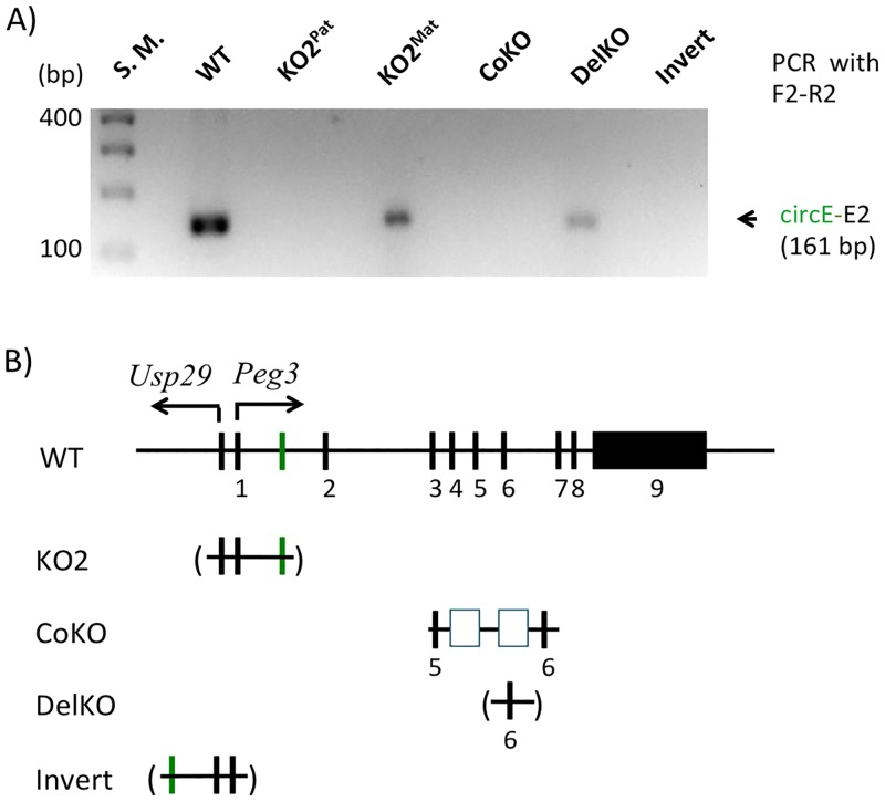 Formation of circPeg3 in various mutant alleles. ( A ) The gel image represents the results of a nested PCR amplifying circPeg3 from a set of cDNA that have been derived from various mutant alleles. ( B ) Schematic representation of the mutant alleles used for the current study. The exons are indicated with black vertical lines, while the circE exon is indicated with a green vertical line. The 4-kb genomic region corresponding to the Peg3-DMR is deleted in the KO2 allele, which is indicated with a parenthesis. In the CoKO allele, a 7-kb expression cassette containing the β-galactosidase and neomycin resistance genes with Poly-A tails is inserted into the 5th intron, which is indicated with two open boxes. In the DelKO allele, the 6th exon is deleted as indicated with a parenthesis. In the Invert allele, the 4-kb Peg3-DMR is inverted relative to the orientation of the surrounding genomic regions.