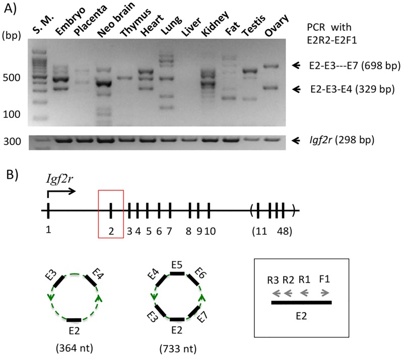 Circular RNA from the Igf2r locus, circIgf2r. ( A ) The gel image on top represents the results of the first PCR amplifying circIgf2r from a set of cDNA that have been derived from the total RNA of various mouse tissues and the image on bottom shows the expression profile of Igf2r . ( B ) Schematic representation of the exon structure of the mouse Igf2r locus. The black vertical lines indicate individual exons and the vertical lines within a parenthesis indicate the simplified version of the remaining exons, Exon 11 through 48. The arrows within the box indicate the primers that have been used for a nested PCR scheme to amplify circIgf2r.
