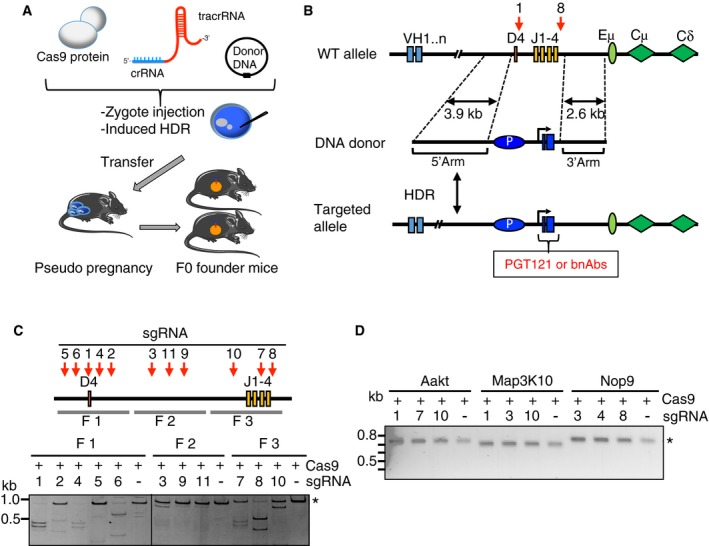 One‐step CRISPR zygote injection to generate mice carrying PGT121 heavy chain in the mouse IgH locus Schematic depicting CRISPR/Cas9 injection. A circular plasmid bearing germline PGT121‐gH VDJ sequences, two guide RNAs, and Cas9 protein were injected into zygotes and implanted into pseudopregnant mice. Cas9‐induced double‐stranded breaks in the genome of zygotes are used to insert germline PGT121 VDJ sequences flanked by homologous arms on each side of the cut site via HDR. After 3 weeks, F0 founder mice are born, some of which bear the human bnAbs germline precursor. Strategy for insertion of PGT121 rearranged VDJ into mouse IgH locus. Targeting DNA donor with 5′ (3.9 kb) and 3′ (2.6 kb) homology arms to the C57BL/6 WT mouse IgH locus, murine VHJ558 promoter, leader, and the human PGT121 heavy chain VDJ sequences are located between two homology arms. CRISPR/Cas9‐mediated HDR leads to the insertion of the promoter and PGT121 sequences into the C57BL/6 mouse genome. P: murine VHJ558 promoter; HDR: homology‐directed repair; bnAbs: broadly neutralizing antibodies. sgRNA targeting sites are indicated in red. Three distinct fragments of genomic DNA were amplified by PCR, and in vitro digestion assay was performed with each of the sgRNAs to validate the efficiency of Cas9‐mediated cleavage. Analysis sgRNA off‐target effects in unrelated genes. Amplicons corresponding to Aakt, Map3K10, and Nop9 were generated by PCR by using gene‐specific primers. In vitro digestion assay was performed to measure the Cas9‐directed cleavage efficiency.