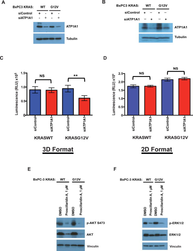 Assessing the Na + /K + -ATPase as the potential target of Proscillaridin A ( A–D ) BxPC-3-KRAS G12V and BxPC-3-KRAS WT were transfected with siRNA targeting ATP1A1 or control siRNA and knockdown of the ATP1A1 subunit was confirmed by western blotting in cells grown in ( A ) 3D format or ( B ) 2D format. Viability of BxPC-3-KRAS G12V and BxPC-3-KRAS WT cells transfected with siRNA targeting ATP1A1 or control siRNA grown in grown in ( C ) 3D format or ( D ) 2D format was determined at 48 hours post-transfection using CTG3D or CTG, respectively. Statistical significance was determined by unpaired t -test. NS = Non significant, ** = p