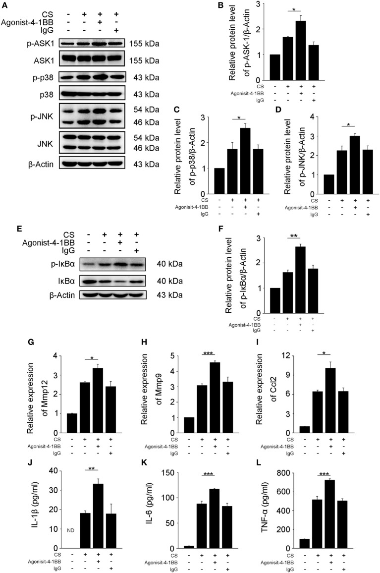 Activation of 4-1BB signaling promotes the secretion of pro-fibrotic mediators by MH-S cells. MH-S cells treated with or without agonist 4-1BB mAb (10 µg/mL) or IgG (10 µg/mL) for 2 h prior to exposure to crystalline silica (50 µg/cm 2 ) for 12 h. (A) Western blots analysis of ASK-1 and downstream mitogen-activated protein kinase proteins (p38 and JNK/stress activated protein kinase) and their phosphorylated forms. (B–D) The levels of phospho-ASK1, phospho-p38, and phospho-JNK were normalized to those of β-actin ( n = 3). (E) Western blots analysis of IκBα and phospho-IκBα. (F) The level of phospho-IκBα was normalized to those of β-actin ( n = 3). (G–I) Real-time polymerase chain reaction analysis of MMP12, MMP9, and monocyte chemoattractant protein-1 mRNA expression ( n = 4). (J–L) ELISA analysis was used to quantify the secretion of IL-1β, IL-6 and tumor necrosis factor-α ( n = 4). The results were representative of three independent experiments. Results were graphed as the mean ± SEM (* p ≤ 0.05; ** p ≤ 0.01; *** p ≤ 0.001).