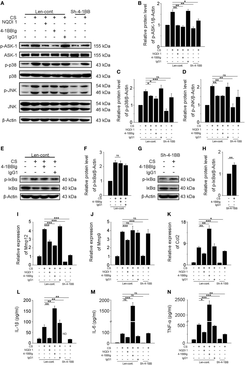 Blockade of <t>4-1BB</t> signaling attenuates the secretion of pro-fibrotic mediators by MH-S cells. Transfected (Len-cont. and sh-4-1BB) MH-S cells were treated with or without NQDI 1 (10 µM), 4-1BBIg (10 µg/mL), or IgG1 (10 µg/mL) for 2 h, then exposed to crystalline silica (50 µg/cm 2 ) for 12 h. (A) Western blots analysis of ASK-1 and downstream mitogen-activated protein kinase proteins (p38 and JNK/stress activated protein kinase) and their phosphorylated forms. (B–D) Levels of phospho-ASK1, phospho-p38, and phospho-JNK were normalized to those of β-actin ( n = 3). (E,G) Western blots analysis of IκBα and phospho-IκBα. (F,H) The level of phospho-IκBα was normalized to those of β-actin ( n = 3). (I–K) The expressions of MMP12, MMP9, and monocyte chemoattractant protein-1 were detected by real-time polymerase chain reaction analysis ( n = 4). ELISA analysis of cytokines in the culture supernatants. (L) IL-1β, (M) IL-6, (N) tumor necrosis factor-α ( n = 4). Data were shown as mean ± SEM (* p ≤ 0.05; ** p ≤ 0.01; *** p ≤ 0.001; ns, not significant). The data were representative of three independent experiments.