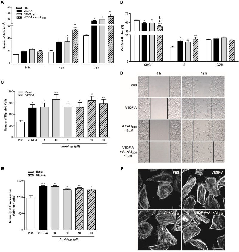 AnxA1 2–26 increases endothelial cell migration and actin polymerization. HUVECs (1 × 10 4 cells/well) were incubated with PBS (control), AnxA1 2–26 (30 μM), and/or VEGF-A (10 or 50 ng/mL) and cell proliferation was evaluated at 24, 48, and 72 h. Results are expressed as the mean ± SEM of cells of two independent experiments in triplicate (A) . HUVECs were incubated with different treatments for 48 h, later labeled with PI (50 μg/mL) and the cell cycle phases were evaluated (ANOVA followed by the Tukey's multiple comparisons test) (B) . HUVEC migration was evaluated after 12 h of incubation with PBS (control), AnxA1 2–26 (1, 10, or 30 μM) and/or VEGF-A (50 ng/mL). Cell migration was monitored with images obtained before (0 h) and after (12 h) treatments (C,D) . HUVECs (1 × 10 4 cells/well) were incubated with different treatments for 2 h and later incubated with rhodamine-phalloidin to evaluate actin polymerization. The intensity of fluorescence was monitored using a fluorescent plate reader (E) and by confocal microscopy (F) . Scale bar = 10 μm. Results are expressed as the mean ± SEM of cells of two independent experiments in triplicate (ANOVA followed by the Bonferroni's test). ∗ p