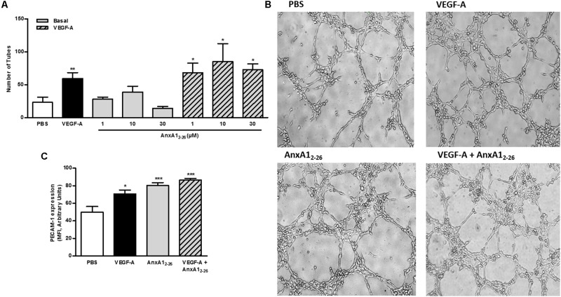 AnxA1 2–26 does not induce tube formation. HUVECs (2 × 10 4 cells/well) were incubated with PBS (control), AnxA1 2–26 (30 μM), and/or VEGF (50 ng/mL) for 6 h on Matrigel ® and the number of tube structures were quantified using an optical microscope (A,B) . PECAM-1 expression was evaluated by flow cytometry (C) . Scale bar = 10 μm. Results are expressed as the mean ± SEM of two independent experiments in triplicate (ANOVA followed by the Tukey's multiple comparisons test). ∗ p