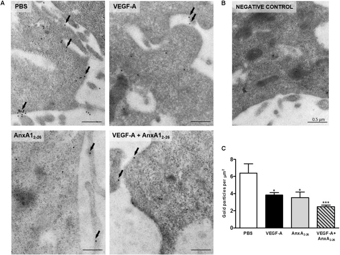 VEGF-A and AnxA1 2–26 decreases FPR1 expression on HUVECs. FPR1 was detected in the plasma membrane (arrows) and cytoplasm of cells under all experimental conditions (A) . Negative control (B) . Density of FPR1 immunogold particles in HUVECs (C) . Scale bar = 0.5 μm. Data are mean ± SEM of distinct cells analyzed ( n = 12–20/group) for each condition (ANOVA followed by the Bonferroni's test). ∗ p