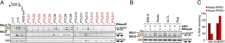 ( A ) EBV circBARTs are expressed in EBV-positive tumor samples. RNase R-treated (+) or RNase R-untreated (−) RNAs from 6 EBV-positive and 11 EBV-negative (red font) pathologically diagnosed PTLD, NPC tumor xenoexplants C17 and C15, and an EBV-positive AIDS-associated lymphoma were tested by DP1 RT-PCR for circBART-BSJ1 and circBART-BSJ2 ( Top ). All six EBV-positive PTLDs were strongly positive, and three of the EBV-negative PTLDs were weakly positive for circBART RNAs. RT-PCR for LMP2 ( Middle ) and GAPDH ( Bottom ) mRNAs are shown. RNase R treatment enriched circBART junctions and depleted linear LMP2 and GAPDH products. ( B ) Confirmation of cyclization for EBV circBARTs by RNase H treatment. In vitro RNase H assays using annealed ASOs targeting BSJ1 and BSJ2 showed depletion of junctional sequences after RNase H treatment as monitored by DP1 PCR for Akata, sLCL, and Raji cell RNAs, but not in B95-8 <t>RNA.</t> GAPDH mRNA amplification was not affected by RNase H treatment. ( C ) <t>RPAD</t> analysis of EBV circBART. RNase R treatment followed by RPAD diminished linear 18S ribosomal RNA transcripts but increased circBART transcripts. Relative RNA was determined by normalizing the qPCR Ct values RPAD+ RNA to untreated control RNA (RPAD−). The data represent the means ± SD from four replicates.