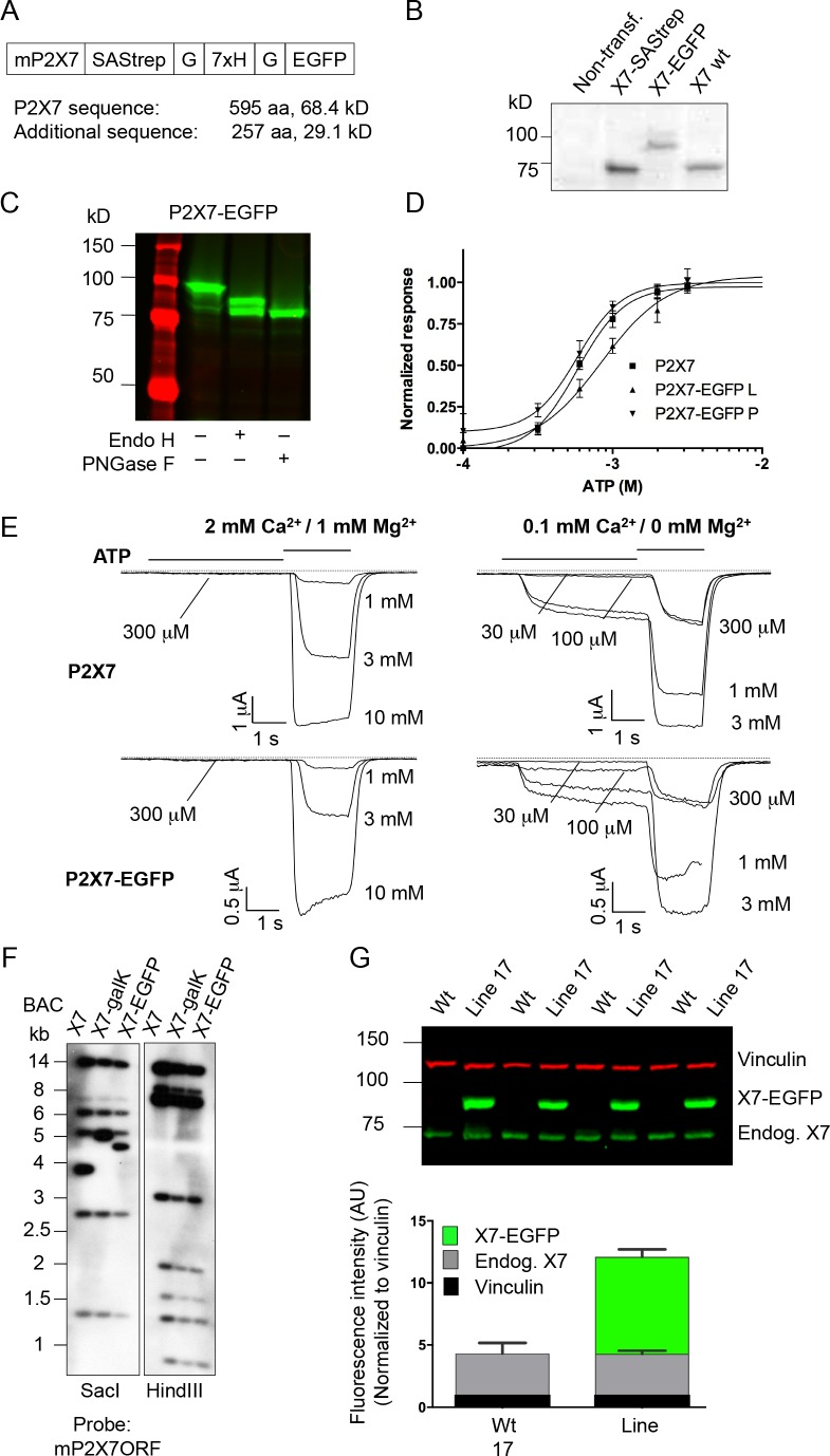 Expression and functionality of the P2X7-EGFP constructs in HEK cells and expression of the transgene in mice. ( A ) The EGFP sequence was fused via a Strep-tag-His-tag linker to the very C-terminus of the mouse P2X7 sequence. (B/C) Protein extracts from transiently transfected (Lipofectamine 2000, Invitrogen) HEK cells (DSMZ (ACC 305), regularly tested for mycoplasma contamination) were separated by SDS-PAGE with endoglycosidase treatment as indicated. Gels were analyzed by western blotting with a P2X7-specific antibody (Alamone, extracellular) ( B ) or by direct EGFP-fluorescence scanning ( C ). ( D ) Normalized dose–response curves for ATP-induced ethidium uptake. HEK293 cells were cultured and transfected (2 μg DNA/well of a six-well-plate, Lipofectamin, Thermo Fisher Scientific). After 27 hr, cells were seeded in 96-well plates (5 × 10 4 cells/well) and incubated in the presence of 20 μM ethidium bromide in PBS for 15 min. Dye influx was evaluated with a fluorescence plate reader (Fluostar Galaxy, BMG) upon addition of the indicated ATP concentrations, as described ( Bruzzone et al., 2010 ). Lines represent nonlinear curve fits of the Hill equation to the data and were normalized to the calculated maximal responses. EC 50 values are 582 (CI 498–681), 840 (CI 644–1098) and 582 (CI 457–740) for wt (L variant) and EGFP-tagged L and P variants, respectively. Error bars represent SEM (n = 4–7). CI = 95% confidence interval. ( E ) Patch-clamp recordings from HEK cells transfected as above with wt and EGFP-tagged P2X7 (L variants). Recordings were performed as described ( Nicke et al., 2009 ) in normal or low divalent cation (DIC) containing extracellular solution to account for possible unspecific effects ( Nörenberg et al., 2016 ). Representative current traces from n > 3 cells are shown. Due to problems with the perfusion, one trace is incomplete (1 mM ATP for P2X7-EGFP in low DIC). ( F ) Southern blot controls for correct modification and integrity of the P2X7 BAC clone during subsequent homologous recombination steps. ( G ) Reproducibility and stability of endogenous and transgenic P2X7 protein expression. Protein extracts from four line 17 mice were separated by SDS-PAGE and quantified by western blotting and infrared imaging using antibodies against P2X7 (Synaptic Systems) and vinculin and fluorescent secondary antibodies. Data are presented as mean ±SD from four individual mice. No significant difference of endogenous P2X7 expression was found in two independent experiments.