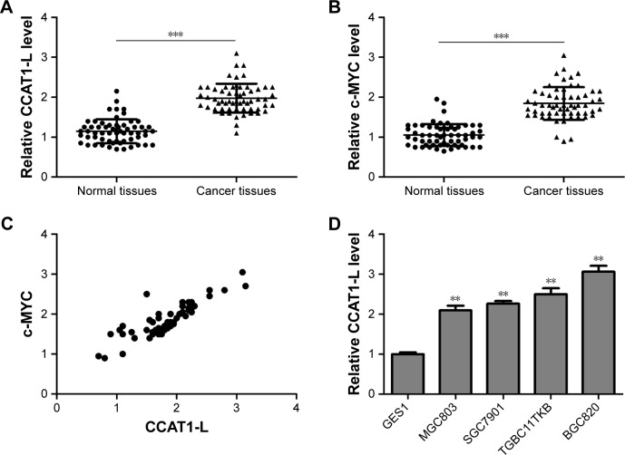 The expression of CCAT1-L mRNA and c-MYC mRNA. Notes: ( A ) qRT-PCR detection of CCAT1-L expression in gastric adenocarcinoma and adjacent normal tissue (n=60; *** P