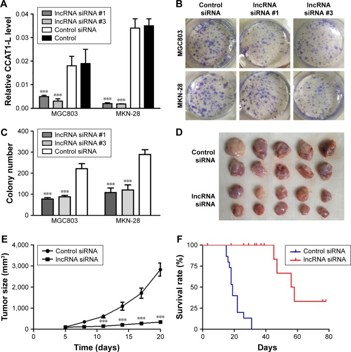 CCAT1-L knockdown effectively inhibited tumor growth both in vitro and in vivo. Notes: ( A ) Verification of CCAT1-L knockdown by specific siRNA (CCAT-L siRNA #1 and CCAT-L siRNA #3) and control siRNA using qRT-PCR (n=3). ( B , C ) Colony formation analysis of cells after siRNA transfection. ( D ) Picture of MKN-28 tumors harvested from different treatment groups. ( E ) In vivo tumor growth of MKN-28 cells transfected with CCAT1-L siRNA #1 or control siRNA. ( F ) Survival curve of mice bearing MKN-28 tumors transfected with CCAT1-L siRNA or control siRNA (n=10). *** P