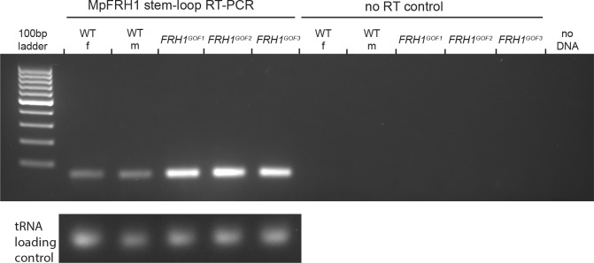 Stem-loop PCR detection of the MpFRH1 miRNA. RNA extracted from 15 day old wild type and Mp FRH1 GOF1-3 gemmae was used as a template for the stem-loop PCR amplification. Amplification products after 28 PCR cycles were visualised on a EtBr stained 2% agarose gel. The tRNA band was used as a loading control.