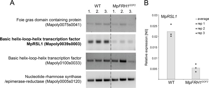 Transcripts of one of the four predicted MpFRH1 miRNA targets are less abundant in Mp FRH1 GOF2 compared to wild type. ( A ) RT-PCR quantification of transcript levels of the four predicted FRH1 miRNA target mRNAs in WT and Mp FRH1 GOF2 plants. ( B ) qRT-PCR quantification of transcript levels of Mp RSL1 . Mp RSL1 transcript levels were normalised against Mp APT1 and Mp CUL3 .