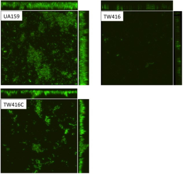 Confocal microscopic analysis of biofilms. S. mutans wildtype (UA159), the mecA mutant (TW416) and its complement strain (TW416C) were grown in BM medium with glucose and sucrose, glucose or sucrose. Biofilms were grown on HA disks vertically placed in 12 well plates for 24 h, and analyzed using a laser scanning confocal microscope. Panel shows representatives of the compressed confocal images at xy, yz, and xz axis of biofilms of UA159, TW416, and TW416C grown in BM plus glucose and sucrose.