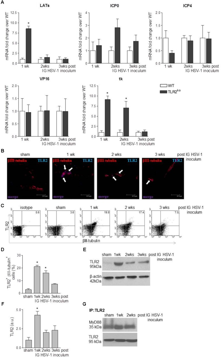 HSV-1 infection of the ENS triggers TLR2 activation. (A) One, two, and three weeks (wks) post IG inoculum of HSV-1, total RNA was purified from the LMMP of WT and TLR2 ko mice. Quantitative PCR was performed to evaluate the expression of HSV-1 latency-associated transcripts (LATs), infected cell protein (ICP0, ICP4), VP16, and thymidine kinase (tk) mRNA transcripts. Data were normalized to Rn18S and are reported as mRNA fold-change over WT mice. Sham: mice IG inoculated with Vero cell lysate. n = 6 mice per group. ∗ denotes P