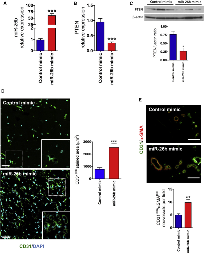 miR-26b Promotes Microvascular Growth In Vivo (A and B) The expression of (A) miR-26b and (B) PTEN in Matrigel plug mixed with miR-26b mimic and control mimic after 12 days. (C) Western blot analysis of PTEN expression in Matrigel plugs. β-actin was detected as a loading control. Lower panel: quantification of western blotting is shown. Error bars are mean ± SEM; *p