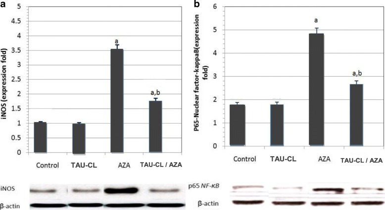 Western blotting analysis of testicular inducible nitric oxide synthase ( a ; iNOS) and p65 nuclear factor-kappa B ( b ; NF-ƘB p65) in Control, Taurine-chloramine (TAU-CL), Azathioprine (AZA) and TAU-CL/AZA groups. Data are presented as mean ± SEM, a Significant change from the control group at p