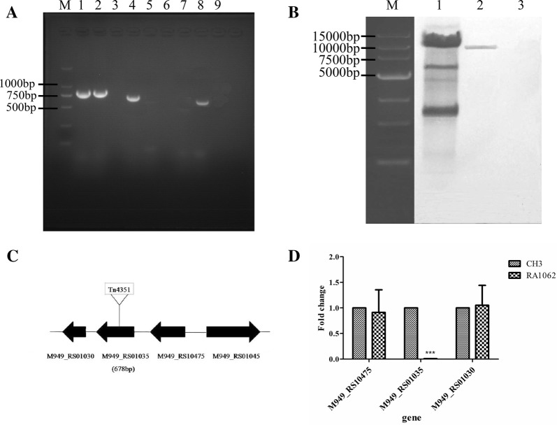Identification of the mutant strain RA1062. A PCR amplification. M: Takara DL2000 marker; lanes 1–2: R. anatipestifer 16S rRNA was amplified from the WT strain CH3 (lane 1), the mutant strain RA1062 (lane 2), showing a 744-bp fragment of 16S rRNA; lanes 4–5: a 678-bp fragment of M949_RS01035 was amplified from the WT strain CH3 (lane 4), but not the mutant strain RA1062 (lane 5); lanes 7–8: the 644-bp fragment of erm gene was not amplified from the WT strain CH3 (lane 7), but amplified from the mutant strain RA1062 (lane 8); lanes 3, 6 and 9: the avian pathogenic E. coli strain (APEC, CVCC1547), as negative controls. B Southern blot analysis of the transposon Tn4351 insertion. Lane 1, 10 μg of pEP 4351 digested with Xba I (positive control); Lane 2, 10 μg of chromosomal DNA from mutant strain RA1062 digested with Xba I; Lane 3, 10 μg of chromosomal DNA from the WT strain CH3 digested with Xba I (negative control). The digested sample was resolved on a 0.7% agarose gel and Southern blot analysis was performed using a TnDIG-labeled probe. C Schematic chart of Tn4351 insertion in RA1062 chromosome at 318 bp of the gene, which is 678 nucleotides in length. D qPCR analysis. The expression of the mRNAs were expressed as fold change and calculated using the comparative C T (2 −∆∆CT ) method. Data were normalized to the housekeeping gene ldh and expressed as fold changes. The expression of M949_RS01035 in the mutant strain RA1062 was disrupted. However, no change was shown for its upstream M949_RS10475 gene and downstream M949_RS01030 gene. Error bars represent standard deviations from three replicates (*** p