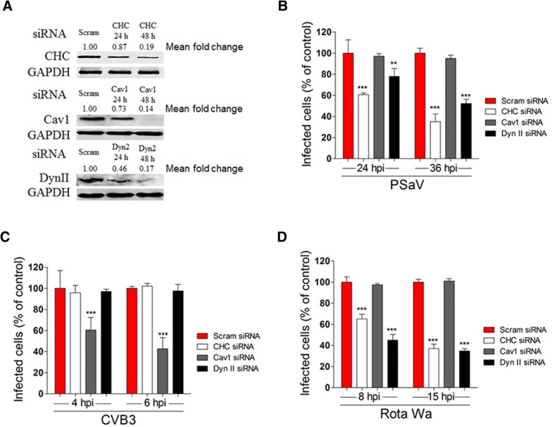 Small interfering RNAs (siRNAs) against clathrin- and dynamin-mediated endocytosis reduce PSaV infection. A LLC-PK cells transfected with scrambled siRNA (Scram) or siRNAs against clathrin heavy chain (CHC), dynamin II, or caveolin-1 were harvested at 24 and 48 h post-transfection. The down-regulation of each protein by siRNA knock-down was evaluated by western blotting analysis using antibodies specific for each protein. The intensity of each target protein relative to GAPDH was determined by densitometric analysis and is indicated above each lane. The cells transfected with each siRNA and then incubated were infected with PSaV Cowden ( B ), CVB3 Nancy ( C ), or rotavirus Wa ( D ) strains. Infected cells were counted after staining with antibodies specific for each virus, and nuclei were counted after staining with DAPI. For each virus, results are shown as the percentage of infected cells, and normalized to the results obtained in the scrambled siRNA-transfected cells. Data for panels B – D are presented as mean ± standard deviation of the mean from three independent experiments. Differences were evaluated using one-way ANOVA. * P