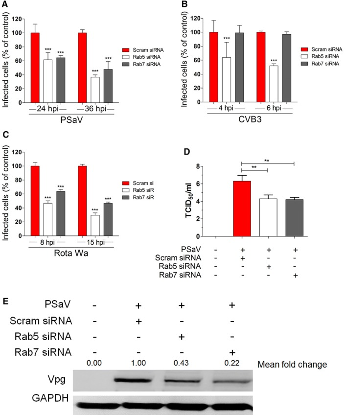 PSaV infection depends on Rab5 and Rab7. A – D LLC-PK, Caco-2, and MA104 cells were transfected with scrambled siRNA or siRNAs against Rab5 or Rab7, and then incubated with PSaV Cowden ( A ), CVB3 Nancy ( B ), or rotavirus Wa ( C ) strains, respectively. Infected cells were counted after staining with antibodies specific for each virus, and nuclei were counted after staining with DAPI. For each virus, results are shown as the percentage of infected cells, normalized to the results obtained in the scrambled siRNA-transfected cells. D The virus titer was determined by TCID 50 using the cell lysates harvested from the cells in the above experimental conditions. Data for panels A – D are presented as mean ± standard deviation of the mean from three independent experiments. Differences were evaluated using the one-way ANOVA. * P