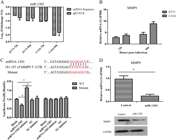 MMP9 is a target gene of miR-1303. a Verification of the expression of miR-1303 by qRT-PCR compared to miRNA sequencing. b Detection of the expression of MMP9 induced by CA16 infection using qRT-PCR. c Dual-luciferase reporter analysis verified the targetting relationship between miR-1303 and MMP9. d qRT-PCR and WB analysis of MMP9 expression in miR-1303 transfected cells. Error bars represent the mean ± SEM, and the data are averages from three biological replicates, * P