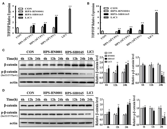 The high-virulence H. parasuis infection activated the Wnt/β-catenin signaling pathway in PK-15 and NPTr cells. (A,B) PK-15 cells (A) and NPTr cells (B) transfected with TOPflash or FOPflash were stimulated or unstimulated with H. parasuis strains (10 6 , 10 7 , or 10 8 CFU/mL) or LiCl (20 mM) for 24 h. Cells were lysed and TCF transcriptional activity was determined by TOPflash/FOPflash ratio after normalization with Renilla. Representative results of three independent experiments are shown as the mean +/− SD ( n = 3). ** p