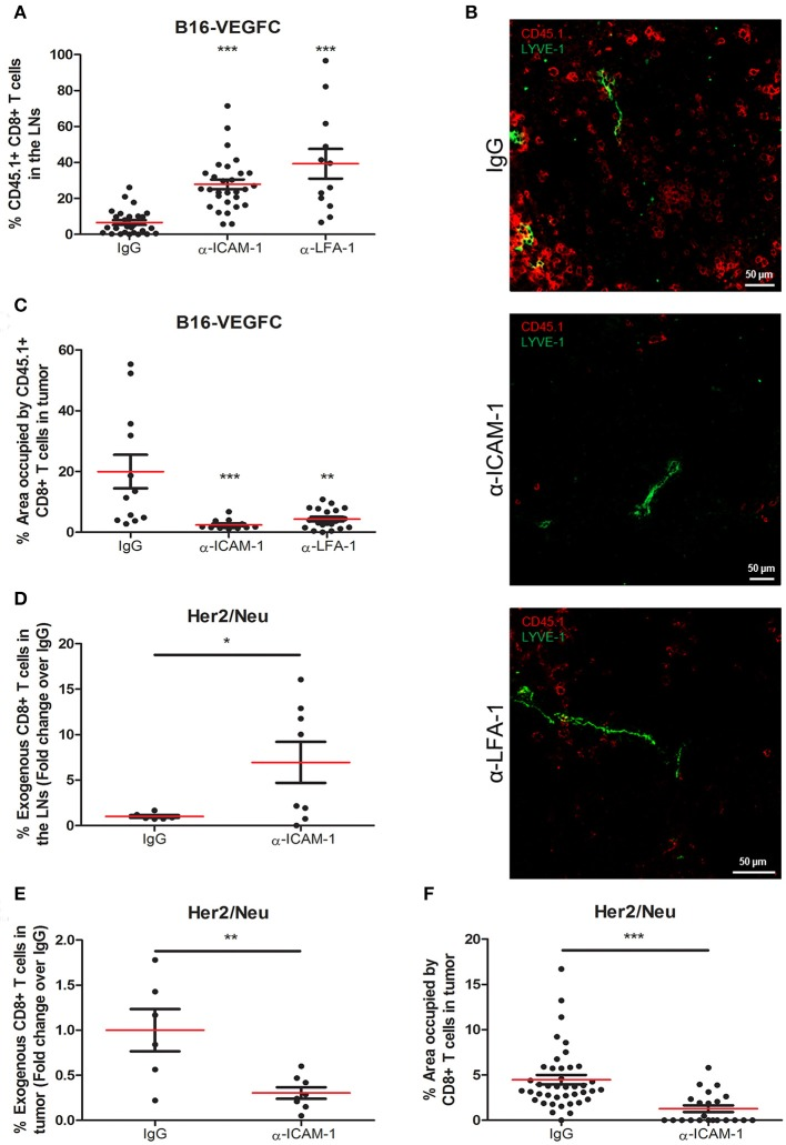 Systemic ICAM-1 blockade increases the egress of intratumorally injected CD8+ T-cells to draining LNs. (A) Percentages of total CD45.1+ CD8+ T cells injected in B16-VEGFC tumors that reached the draining LNs 48 h after isotype ( n = 29), anti-ICAM-1 ( n = 32), or anti-LFA-1 ( n = 12) treatment and detected by flow cytometry. (B) Representative confocal images of B16-VEGFC tumors in mice treated with isotype, anti-ICAM-1 or anti-LFA-1 antibodies showing CD45.1+ T cells (red) and intratumoral LVs (green). (C) Percentages of CD45.1+ CD8+ T-lymphocytes remaining in B16-VEGFC tumors 48 h after isotype, anti-ICAM-1 or anti-LFA-1 antibody treatment. Percentage of positive area was calculated using a manual region of interest (ROI) based on CD45.1 signal. At least 12 pictures from 3 different tumors where analyzed in each case. (D) Percentages of total CD8+ T cells injected in Her2/Neu tumors that reached the draining LNs after isotype ( n = 6) or anti-ICAM-1 ( n = 8) treatment and detected by flow cytometry. (E) Percentages of total CD8+ T cells injected in Her2/Neu tumors that remained in tumors 48 h after isotype ( n = 6) or anti-ICAM-1 ( n = 8) treatment and detected by flow cytometry. (F) Percentages of CD8+ T-lymphocytes remaining in Her2/Neu tumors 48 h after isotype or anti-ICAM-1 antibody treatment. Percentage of positive area was calculated using a manual region of interest (ROI) based on CD8 signal. At least 23 pictures from 3 different tumors where analyzed in each case (* p