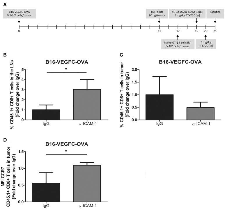 In vivo activated T-cells experience increased migration from tumors to the LNs after ICAM-1 blockade. (A) Treatment schedule. (B) Percentages of intravenously injected CD45.1+ CD8+ T cells in the draining LNs 48 h after treatment with isotype ( n = 9) or anti-ICAM-1 ( n = 6) antibodies of mice bearing B16-VEGFC-OVA tumors. Cells were detected by flow cytometry. (C) Percentages of intravenously injected CD45.1+ CD8+ T cells that remained in B16-VEGFC-OVA tumors 48 h after treatment with isotype ( n = 9) or anti-ICAM-1 ( n = 6) antibodies and detected by flow cytometry. (D) Mean fluorescence intensity of CCR7 expression in CD45.1+ CD8+ T cells remaining in B16-VEGFC-OVA tumors in mice treated as in C. (* p