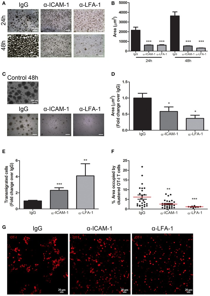 In vitro blockade of the ICAM-1/LFA-1 pair abolishes T cell clustering and speeds their transmigration across lymphatic monolayers. (A) Representative microphotographs of CD45.1+ CD8+ T cell clusters after in vitro activation for 24 or 48 h in the presence of control isotype or anti-ICAM-1 or anti-LFA-1 antibodies. (B) Quantification of T cell cluster formation in A calculated as the percentage of total area that is occupied by T-cell clusters. Pooled data from at least two independent experiments are shown. (C) Representative microphotographs showing destruction of already-formed T cell clusters of CD45.1+ CD8+ activated T lymphocytes being subsequently treated for 24 h with isotype control, anti-ICAM-1 or anti-LFA-1 antibodies. (D) Quantification of T cell clusters was performed as in B . (E) Transmigration of activated CD45.1+ CD8+ T cells for 16 h across monolayers of IMLEC through serum-containing medium. The assays were performed in the presence of anti-ICAM-1 or anti-LFA-1 antibodies or control IgG. Data from five independent experiments are shown. (F) Percentages of CD8+ T-lymphocytes remaining in the upper well of Boyden chambers after transmigration assays as in E. Percentages of total area occupied by T-cell clusters was calculated using a manual region of interest (ROI) based on CD8+ signal. At least nine pictures where analyzed in each case. (G) Representative confocal images of OT1 CD8+ lymphocytes (red) that remained in the upper well of transwell Boyden chambers after transmigration experiments as in E (* p