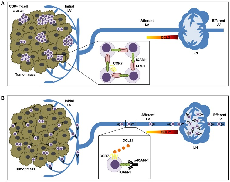 ICAM-1-LFA-1 dependent CD8+ T-lymphocyte aggregation in tumor tissue prevents recirculation to draining lymph nodes. (A) Intra-tumoral CD8+ T lymphocytes form clusters that are retained in the tumor microenvironment by homotypic ICAM-1-LFA-1 interactions. (B) ICAM-1 blockade results in destruction of T-cell clusters and increased T cell sensitivity to CCL21 chemokine-guided migration toward the lymphatic vessels, thus facilitating their transit to the draining lymph nodes.