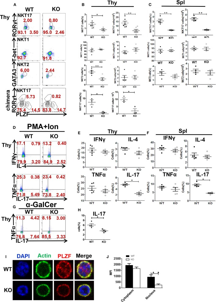 Akt2 promotes NKT17 lineage differentiation. Cells were from WT and Akt2 KO mice. (A) Intracellular staining of PLZF, RORγt, T-bet, and GATA3 in iNKT cells from the thymus. Percentages and absolute numbers of NKT1, NKT2, NKT17 cells in the thymus ( n = 6 mice per group) (B) and spleen ( n = 4 mice per group) (C) from WT, KO, WT chimera mice ( n = 3) and Akt2 KO chimera mice ( n = 3). (D–F) Cytokine production by iNKT cells (gated on CD1d-PBS57 + TCRβ + cells) from the thymus ( n = 5 mice per group) and spleen ( n = 5 mice per group) after stimulation with PMA plus ionomycin for 5 h. (G,H) Cytokine production by iNKT cells from WT and Akt2 KO thymocytes stimulated with α-GalCer for 72 h and with PMA plus ionomycin in the last 5 h ( n = 4 mice per group). (I) Critical role of Akt2 for PLZF localization to the nuclear bodies. MACS—enriched and FACS—sorted NKT17 cells from WT and Akt2 KO thymocytes( n = 3) were fixed and stained with a mouse anti-PLZF and Actin as primary antibody, detected with an Goat anti mouse secondary antibody. The nuclei were stained with DAPI. (J) Mean fluorescent intensity of cytoplasm and nucleus. * p