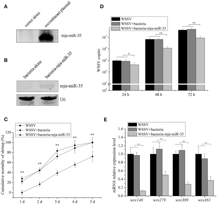 Antiviral activity of shrimp fed mja-miR-35-expressing bacteria in vivo . (A) Expression of mature mja-miR-35 in bacteria. LITMUS 38i vector (vector alone) or LITMUS 38i-miR-35 expressing mja-miR-35 (recombinant plasmid) was transformed into Escherichia coli HT115 cells. After IPTG induction, Northern blotting was conducted to detect mja-miR-35. (B) Detection of mature mja-miR-35 in shrimp fed with bacteria expressing mja-miR-35. The bacteria expressing mja-miR-35 were mixed with shrimp feed and then the shrimp were fed with the mixed feed daily. At 48 h after feeding, the expression level of mja-miR-35 was detected by Northern blotting. U6 served as a loading control. (C) Influence of mja-miR-35 in shrimp fed with bacteria-mja-miR-35 on WSSV replication. The WSSV-infected shrimp were fed shrimp feed containing bacteria-mja-miR-35 or bacteria-mja-miR-35-scrambled daily. At different post-infection times, WSSV copy number was quantified by real-time <t>PCR.</t> WSSV alone was used as a positive control. (D) Effects of mja-miR-35 in shrimp fed with bacteria-mja-miR-35 on shrimp cumulative mortality. The shrimp were treated with WSSV and fed shrimp feed containing bacteria- mja-miR-35 or bacteria- mja-miR-35-scrambled. The shrimp cumulative mortality was examined every day. The treatments were shown at the top. (E) Impact of mja-miR-35 in shrimp fed with bacteria-mja-miR-35 on the expression of mja-miR-35 target viral genes. Shrimp were fed shrimp feed+bacteria-miR-34/bacteria-miR-34-scrambled daily. The shrimp were then infected with WSSV. WSSV alone was used as a control. At 48 h post-infection, the <t>mRNA</t> levels of viral genes were evaluated using quantitative real-time PCR. Statistically significant differences between treatments were indicated with asterisks (* p