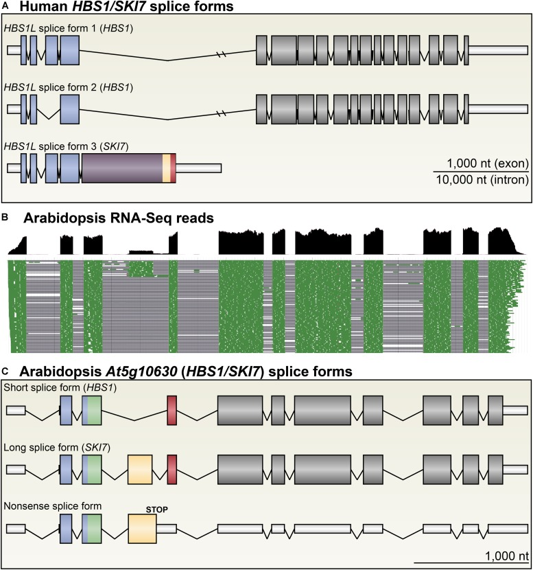 Arabidopsis HBS1/SKI7 is alternatively spliced. (A) The human HBS1/SKI7 locus, called HBS1L , produces three primary splice forms: HBS1L splice form 1, a long splice form with 18 exons; HBS1L splice form 2, a slightly shorter splice form skipping exon 3; and HBS1L splice form 3, which selects an alternative exon 5 followed by transcription termination. HBS1Lv3 includes sequences that promote interaction of the protein with the RNA exosome (yellow and red; see Figure 4A ). (B) RNA-Seq of light-grown seedlings shows that At5g10630 is alternatively spliced into three major splice forms ( Cheng et al., 2017 ). Cumulative RNA-Seq reads are shown in black (top panel), and select individual aligned reads are shown in green (bottom panel), with spliced sequences indicated by a black line. Note that reads for the fourth exon are ∼20% of the level of reads for the other coding sequence exons. (C) At5g10630 forms three major splice forms. A short splice form (top) skips exon 4 (yellow), yielding a transcript that encodes HBS1 (A) . A long splice form (middle) includes exon 4 (yellow), yielding a transcript that encodes SKI7 (A) . Rarely, an alternative acceptor site is selected for exon 4, adding five amino acids with no apparently functional consequence. A nonsense splice form (bottom) retains intron 4, which includes two codons, yielding a transcript that is likely subject to NMD. Exons are colored to match protein models in subsequent figures; UTRs are indicated with narrow, white bars.