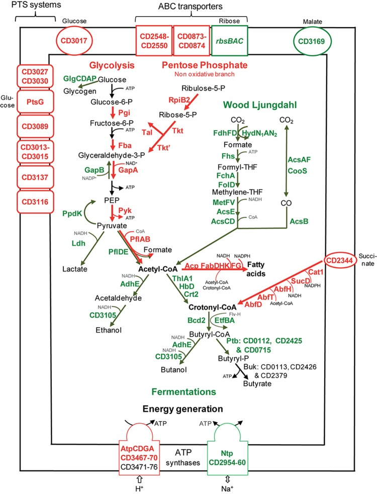 Sugar transport and metabolism in biofilms compared to planktonic cultures. A model for sugar transport and utilization pathways in biofilm compared to planktonic cells is proposed. It is based on the expression of genes involved in sugar transport and metabolism, and their variation between micro-fermentor biofilms ( Figure 1 ) and planktonic cultures ( Supplementary Table S2 ). The name/short identification number of proteins is indicated in green or red when their gene is down- or up-regulated during biofilm/planktonic growth, respectively (see Supplementary Table S2 for protein activity/function). For simplicity, the number of molecules is not indicated in metabolic reactions (e.g., for glycolysis, each molecule of glucose leads to two molecules of glyceraldehyde 3-phosphate and all subsequent products). PEP, Phospho-Enol-Pyruvate; THF, TetraHydroFolate; CoA, Co-enzyme A; P, phosphate.