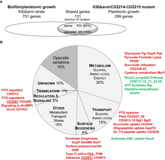 Comparison between CD2214–CD2215 regulon and the set of genes differentially expressed in biofilm/planktonic growth. (A) Overlap. Transcriptomes are drawn as elipses: the set of genes differentially expressed during biofilm/planktonic growth ( Supplementary Table S2 ) is on the left and the set of genes differentially expressed in strain 630Δ erm / CD2214–CD2215 mutant ( Supplementary Table S4 ) is on the right. The number of shared genes (whose expression varies in both transcriptomes) is indicated above the overlap region. As shared genes can vary in the same direction in the two transcriptomes or in opposite directions, the overlap region is divided into two parts. The number of shared genes whose expression varies in opposite directions is indicated in the dark gray part, while the number of genes whose expression varies in the same direction is in the light gray part. (B) Functions. Genes common to the two transcriptomes are shown as a pie chart. The main functional categories of genes regulated in the same direction in the two transcriptomes appear in capital letters in light gray slices. A unique dark gray slice is shown for all genes regulated in opposite directions in the two transcriptomes, whatever the functional category they belong to. The function and the product of main shared genes (designated by their name or short identification number) are indicated beside the pie chart. Protein names/short identification numbers are in green or red depending on whether their genes are, respectively, down- or up-regulated in both transcriptomes. Proteins whose genes are controlled by a c-di-GMP riboswitch ( Soutourina et al., 2013 ) are underlined.