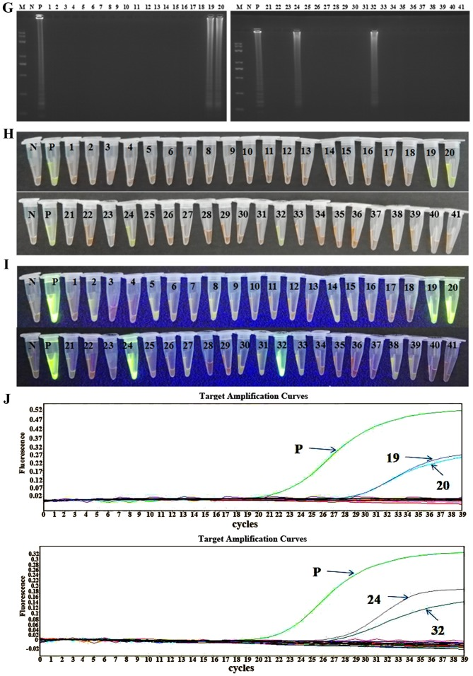 Detection of clinical samples in LAMP, CPA and IMSA assays. LAMP assay: (A) agarose gel electrophoresis of products obtained; (B) visualization of reactions performed with clinical samples (1–41) and <t>SYBR-Green</t> I under visible light; (C) visualization of reactions performed with clinical samples (1–41) and SYBR-Green I under UV light. CPA assay: (D) agarose gel electrophoresis of products obtained; (E) visualization of reactions performed with clinical samples (1–41) and SYBR-Green I under visible light; (F) visualization of reactions performed with clinical samples (1–41) and SYBR-Green I under UV light. IMSA assay: (G) agarose gel electrophoresis of products obtained; (H) visualization of reactions performed with clinical samples (1–41) and SYBR-Green I under visible light; (I) visualization of reactions performed with clinical samples (1–41) and SYBR-Green I under UV light. (J) Reverse transcription-polymerase chain reaction amplification curves for clinical samples (1–41). LAMP, loop-mediated isothermal amplification; CPA, cross-priming amplification; IMSA, isothermal multiple-self-matching-initiated amplification; M, Trans 2K plus II DNA marker; N, negative control; P, positive control (runt related transcription factor 1/runt related transcription factor 1 translocation partner 1 plasmid).