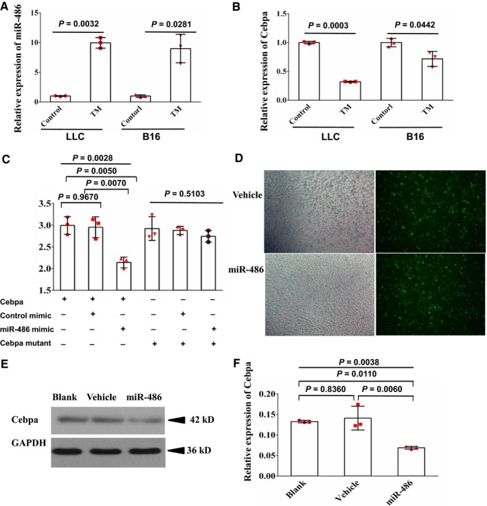 MiR‐486 inhibits expression of Cebpa . A, Expression of miR‐486 in TM ‐ MDSC s from spleens of both LLC ‐bearing mice and B16 melanoma‐bearing mice was higher than in control groups (their counterparts from spleens of tumor‐free mice) as determined by RT ‐ qPCR . B, Expression of Cebpa , which was predicted as one target of miR‐486 by bioinformatics, was lower in TM ‐ MDSC s from both LLC ‐bearing mice and B16 melanoma‐bearing mice than in control groups. C, Interaction between miR‐486 and Cebpa was detected using the Promega luciferase reporter assay, showing that the miR‐486 mimic, but not control mi RNA , significantly reduced renilla luciferase activity in wide type 3′‐ UTR Cebpa groups; however, neither the miR‐486 mimic, nor control mi RNA , significantly reduced renilla luciferase activity in mutated 3′‐ UTR Cebpa groups. D, Transfection efficiency in murine myeloid cells infected with vehicle lentivirus or miR‐486‐expressing lentivirus observed by a fluorescence microscope. Original magnification ×100. E, Murine myeloid cells were infected with vehicle lentivirus or miR‐486‐expressing lentivirus for 48 h. Expression of Cebpa in these cells was measured by western blot. The results also indicated that miR‐486 reduced the expression of Cebpa in myeloid cells. F, Overexpression of miR‐486 decreased the expression of Cebpa in myeloid cells as shown by RT ‐ qPCR . Three tumor‐bearing mice and five tumor‐free mice were used for each test in A and B. All data are presented as the mean ± SD and repeated three times. Error bars represent SD . Each red scatter plot overlaid onto the solid bar graphs indicates one technical repeat. For A and B, a two‐tailed Student's t test was used to compare data between two groups. For C and F, the P ‐values above the horizontal lines without vertical bars represent the results of one‐way ANOVA for three groups, and other P ‐values represent the results of the Scheff multiple‐comparison test when the P ‐values were lower than 0.05 i