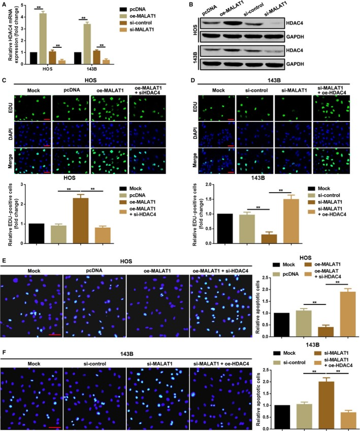 MALAT1 promoted proliferation but suppressed apoptosis via upregulating of HDAC4 in HOS and 143B cells. A, B, Overexpression and depression of MALAT1 positively regulated HDAC4 expression both in mRNA and in protein level as checked by a qRT‐PCR assay (A) and a Western blot (B). ** P
