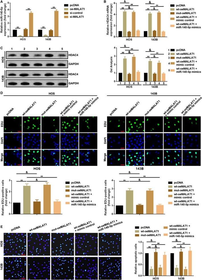 MALAT1 regulated HDAC4 mediated proliferation and apoptosis via decoying of miR‐140‐5p. A, Up‐ and downregulation of MALAT1 negatively affected miR‐140‐5p expression. ** P