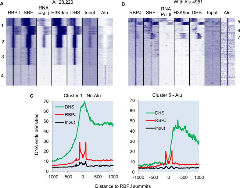 Differential chromatin structure and transcription factor binding between consensus and Alu RBPJ binding sites. ( A ) Heat map of clustered reads densities for the indicated genome-wide determination or DNA sequence feature centered around RBPJ peak summits for all 28 220 RBPJ binding sites. ( B ) The same analysis as in A for the 4921 RBPJ peak summits that intersected with an Alu element within 200 bp. ( C ) Quantification of DNA ends densities for MNAse digested input, RBPJ immunoprecipitated, and DNase hypersensitive DNA for cluster 1 (without Alu) and cluster 5 (with Alu) regions.