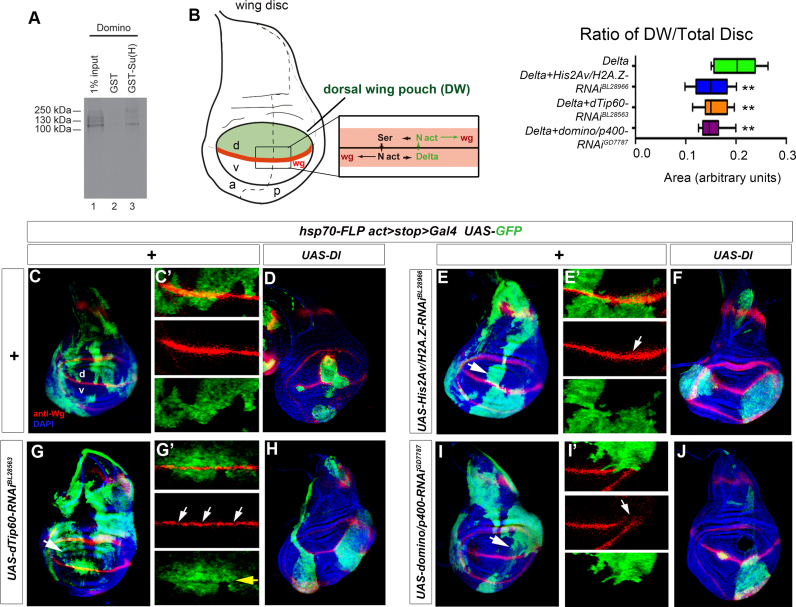 Depletion of Drosophila His2Av/H2A.Z, dTip60 and domino/p400 leads to an asymmetric response to Delta-dependent Notch signaling and reveals a strong requirement for these factors in Notch responsive cells. ( A ) Drosophila homologs of RBP-J and p400 proteins, Su(H) and Domino respectively, physically interact with each other. GST pull-down experiments were performed using bacterially purified GST-Su(H) and in vitro transcribed/translated Domino aa 1557–2352 corresponding to the human RBP-J interacting p400–2 fragment (Figure 3D ). ( B ) Scheme of a Drosophila wing disc with the dorsal wing pouch highlighted in green. Notch activation by its ligands Delta/DLL and Serrate/Jagged at the dorsal (d)/ventral (v) boundary results in activation of target genes, such as wingless ( wg , in red; a: anterior, p: posterior, N act: activated Notch). Graph shows that the relative area of dorsal wing pouch is reduced in wing discs bearing clones of Delta -expressing cells that are depleted of His2Av/H2A.Z, dTip60 or domino/p400 . Data are mean ± SD ([**] P