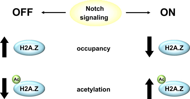 Schematic summary representing the link between H2A.Z and Notch signaling. In absence of Notch signaling (OFF, left side), H2A.Z occupancy increases while its acetylation (H2A.Zac) is low. Upon Notch activation (ON, right side), H2A.Z occupancy is reduced while its acetylation increases.