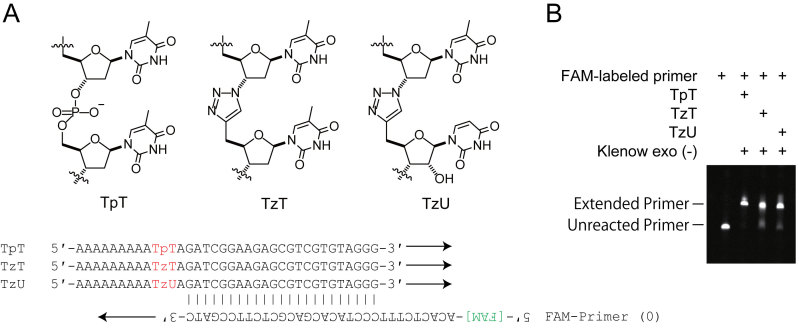 Enzymatic synthesis of DNA complementary to triazole-containing DNA. ( A ) Chemical structures and sequences of the template DNA. TpT contains no triazole linking (left), whereas TzT and TzU contain a single triazole linking (middle and right). Note that the triazole linkage is followed by thymidine and uridine (i.e., ribonucleoside) in TzT and TzU, respectively. Schematic representation of the primer extension assay (bottom). ( B ) Primer extension by the Klenow fragment exo (−).