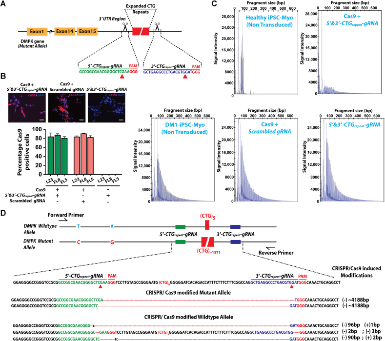 A dual gRNA approach for CRISPR/Cas9-mediated correction of DM1-iPSC Myo and evidence for trinucleotide CTG repeat excision. ( A ) Diagrammatic representation for targeting of the 3 'UTR region of the DMPK gene using a dual gRNA approach for CRISPR/Cas9-mediated gene correction. The dual gRNAs ( 5′ 3′-CTG repeat -gRNA ) target Cas9 on either side of the CTG repeat region for excision of the expanded trinucleotide repeat. ( B ) Cas9 immunofluorescence staining of CRISPR/Cas9 treated DM1-iPSC-Myo cells, at 1-week post transduction. The upper panel shows representative images of DM1-iPSC-Myo cells stained for Cas9 (in red) and co-stained with DAPI for nuclei (in blue) (scale bar = 50 μm). The lower panel shows the graph for the quantitation of microscopy data for Cas9 positive cells. ( C ) Representative electropherograms of Triplet Repeat Primed PCR (TP) products from DM1-iPSC-Myo after CRISPR/Cas9-mediated gene editing from three independent experiments for each of the three treatments (Cas9 and 5′ 3′-CTG repeat -gRNA; Cas9 and scrambled gRNA; 5′-CTG repeat -gRNA, 3′-CTG repeat -gRNA and no Cas9) and untreated control conditions (WT-iPSC-Myo and DM1-iPSC-Myo). ( D ) Sanger sequencing results of on-target activity. The DMPK target locus was amplified by primers flanking the 2 SNPs [ C > T ; G > A : mutant > wild-type allele] and the CTG repeat region [ (CTG) ∼1371 /(CTG) 5 ]. The SNPs allowed discrimination of mutant ( C G ) and wild-type alleles (T A). Analysis of CRISPR/Cas9 activity on the targeted mutant allele showed a large deletion [(–) ∼4188 bp] between the 5′-CTG repeat -gRNA and 3′-CTG repeat -gRNA target sites. CRISPR/Cas9 activity on wild type allele was also detected by deletions between the corresponding gRNA target sites. Representative sequences of the wild-type allele with commonly found deletions and insertions are depicted in the figure. SNPs marked in red are seen in the mutant allele and those in blue are present in the wild type allele. Insertion