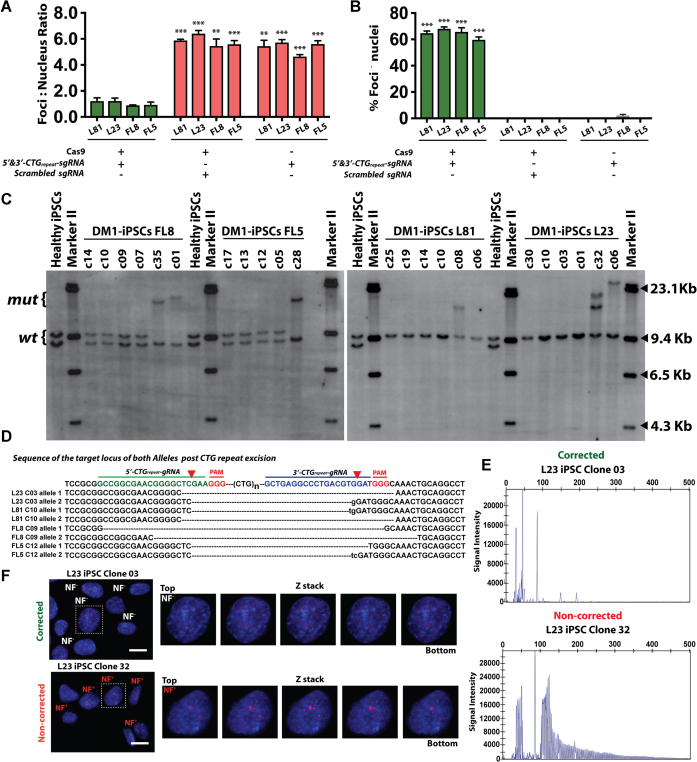 Analysis of CRISPR/Cas9 corrected DM1-iPSCs and isolated DM1-iPSC clones by Southern blot assay, target region sequencing, TP-PCR and ribonuclear foci staining. ( A ) Quantification of ribonuclear foci (NF) in CRISPR/Cas9-corrected DM1-iPSCs. The total number of ribonuclear foci per total number of nuclei was calculated. Total of nuclei counted is 1500. The data is represented as mean ± SEM. The statistics were performed using two-tailed unpaired Student's t -test (*** P