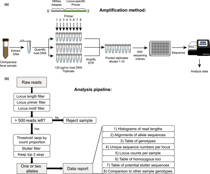 <t>MiSeq‐based</t> short tandem repeat ( <t>STR</t> ) genotyping of wild chimpanzees. (a) Schematic representation of singleplex STR amplification and MiSeq sequencing of chimpanzee fecal DNA . (b) Schematic representation of the CHIIMP analysis pipeline with decision tree and downstream data reports