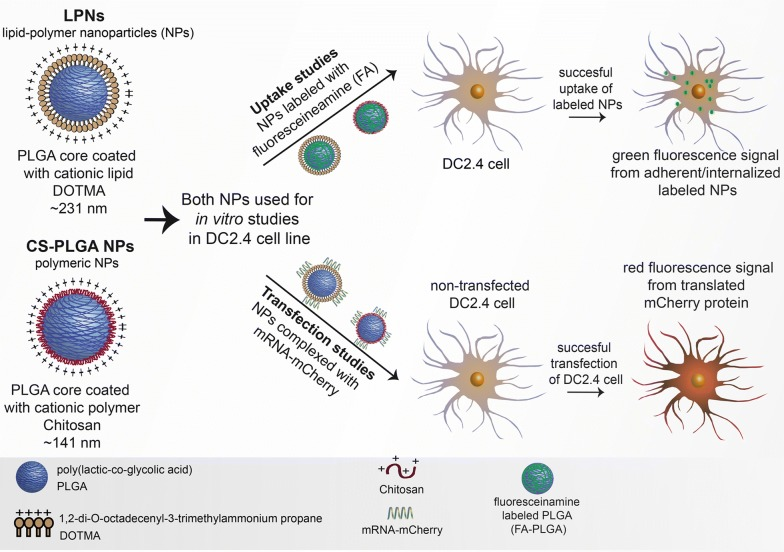 Schematic illustration of all nanoparticles used in this study. Both, LPNs and CS-PLGA NPs either complexed with mRNA or/and labeled with fluoresceinamine are used to quantify their uptake behavior and transfection efficiency in a dendritic cell line (DC2.4)