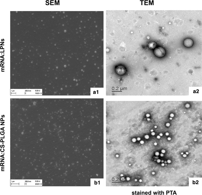 Morphology of mRNA-loaded LPNs ( a1 , a2 ) and CS-PLGA NPs ( b1 , b2 ) visualized using SEM and TEM. a1 , b1 SEM images show a smooth, spherical morphology of the mRNA-loaded nanoparticles and a2 , b2 TEM images show the core–shell structure of the particles after staining with 0.5% (w/V) PTA