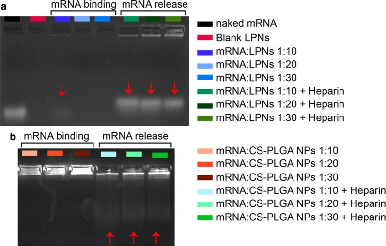 Gel retardation assay of mRNA complexed with different nanoparticles (NPs) at various ratios: a LPNs and b CS-PLGA NPs. Both images indicate mRNA binding to NPs and their appropriate release using heparin