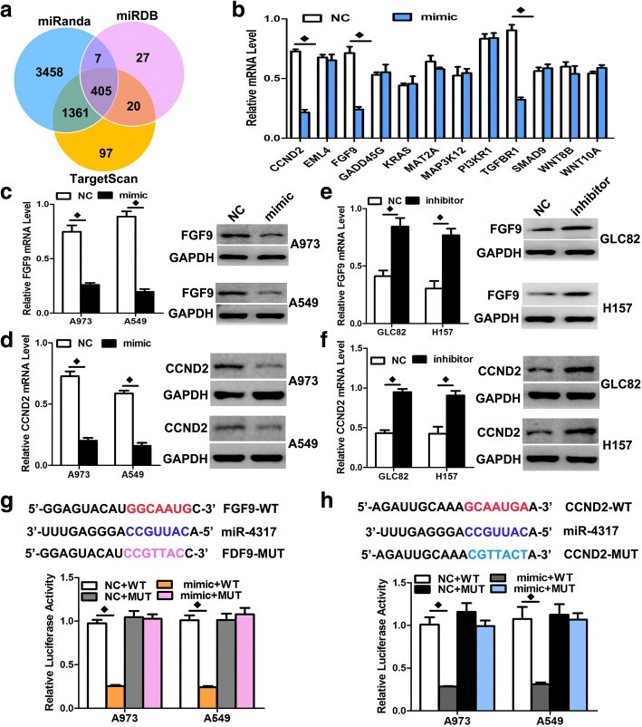 FGF9 and CCND2 were two direct target genes of miR-4317. a , b TGFBR1 and CCNE2 were identified as potential regulatory targets of miR-4317 by considering the downregulation of genes using prediction tools and qRT-PCR. c , d The expression levels of FGF9 and CCND2 mRNA and protein were measured by qRT-PCR and western blot analysis using GAPDH as the loading control after transfection of miR-4317 mimic in the A973 and A549 cell lines, respectively. e , f The expression levels of FGF9 and CCND2 mRNA and protein were measured by qRT-PCR and western blot analysis using GAPDH as the loading control after transfection of miR-4317 inhibitors in the GLC82 and H157 cell lines, respectively. g , h Dual-luciferase reporter assay. The relative luciferase activity was normalized to the Renilla luciferase activity assay after co-transfection of cells with miR-4317 mimic and pmiR-RB-REPORT™ constructs containing WT or MUT FGF9 and the CCND2 3'-UTR region in A973 and A549 cell lines. Data are presented as the mean values ± SD from triplicate experiments. ♦ p